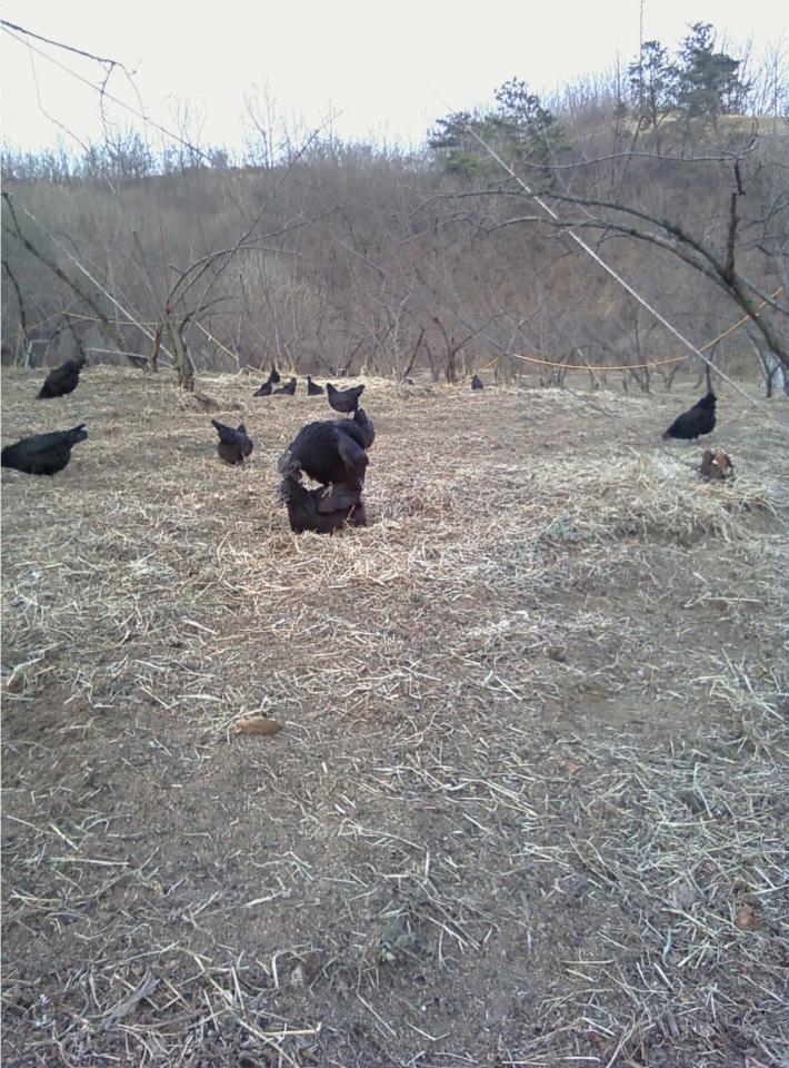 자두밭은 오골계들의놀이터