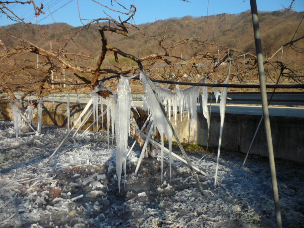 3월의 자두밭에 얼음꽃 구경하세요